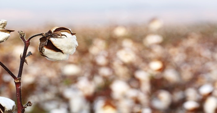 Cotton not much affected by US – China trade issue