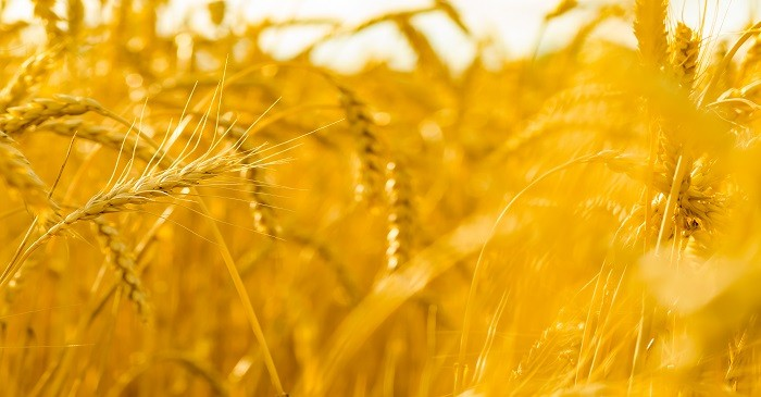 US surplus wheat harvests amidst trade war