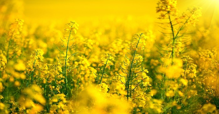 Gain in canola oil due to production concerns