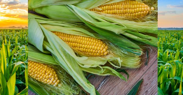 US Farmers to Increase Corn Acreage to Shelter from Lower Soy Prices