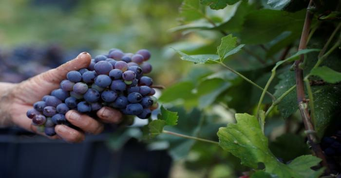 Workers collect grapes in a Taittinger wineyard during the traditional Champagne wine harvest
