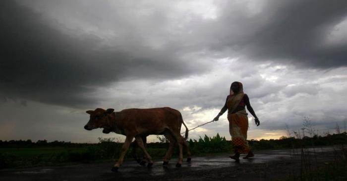 A woman farmer walks with her cattle against the backdrop of monsoon clouds on the outskirts of