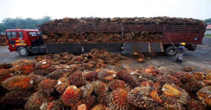 FILE PHOTO: A worker unloads palm oil fruits from a lorry inside a palm oil factory in Salak