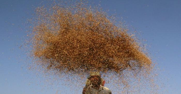 A farmer winnows paddy crops at a field on the outskirts of Agartala