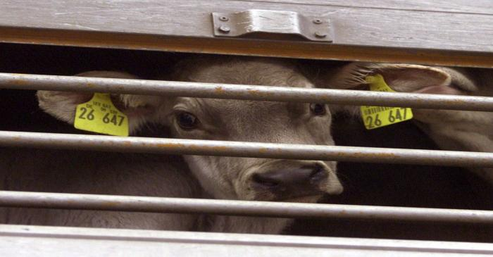 FILE PHOTO: A YOUNG CALF LOOKS OUT FROM A TRUCK IN WESTERHEIM.