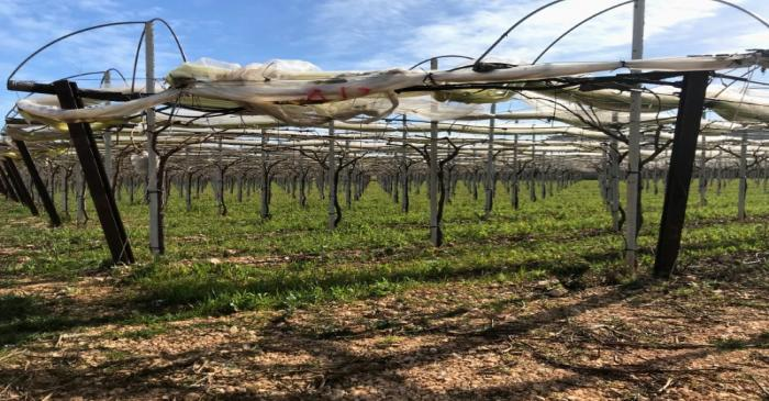 Grape vines for the Italia variety of grape are seen in Noicattaro, a major area of grape
