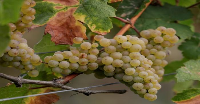 FILE PHOTO: Cluster of grapes is pictured in Bruendlmayers wineyard near Langenlois