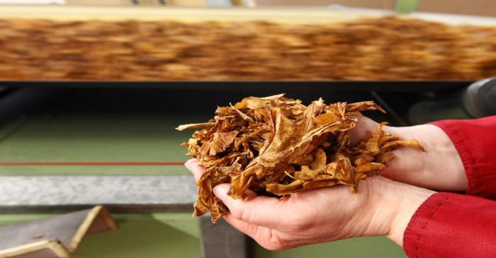 FILE PHOTO: A employee holds tobacco leaves during cigarettes manufacturing process in the