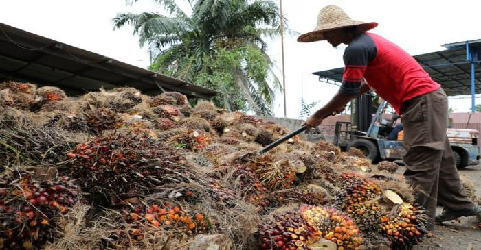 A worker arranges palm oil fruit bunches at a factory in Tanjung Karang