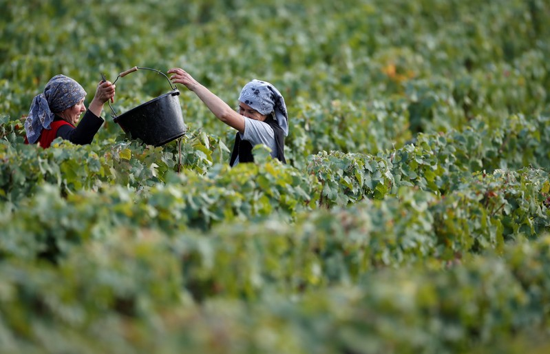 Workers collect grapes in a Taittinger vineyard during the traditional Champagne wine harvest