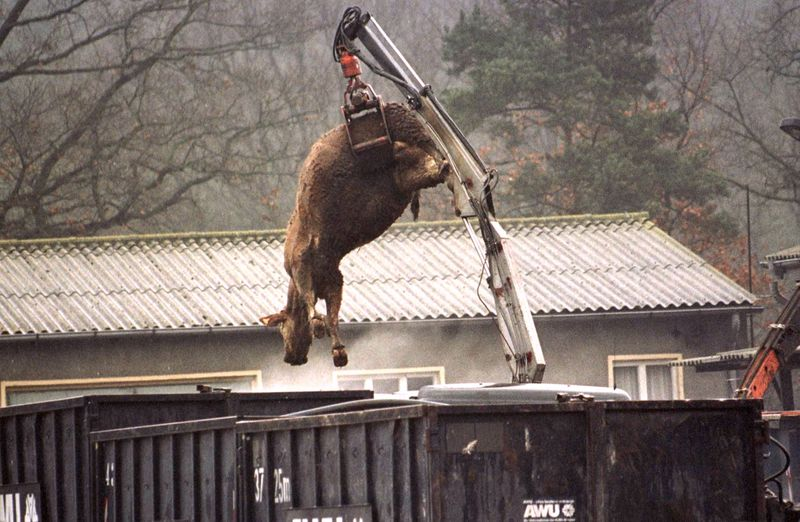 FILE PHOTO: The carcass of a cow suspected of having BSE hangs from a crane over a container at